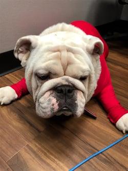 Beauregard the Bulldog